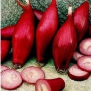 Onion Simane - Appx 120 seeds